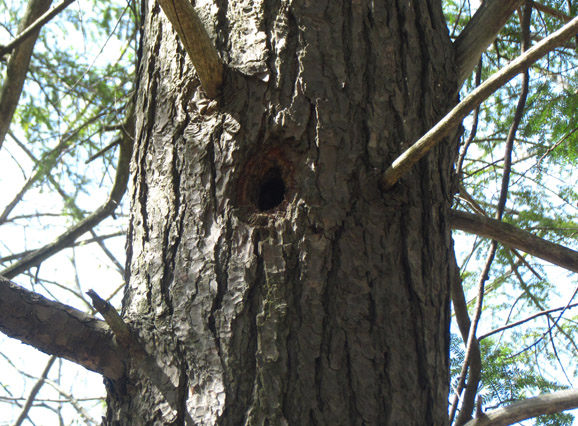 Nesting cavities created by woodpeckers
