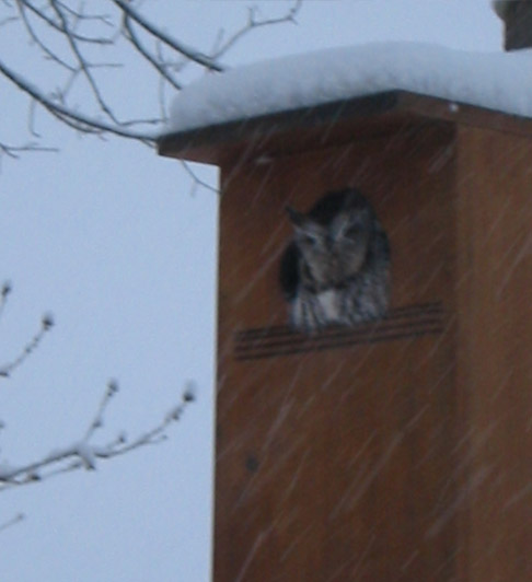 Owl using a wood duck nesting box during a winter storm for shelter