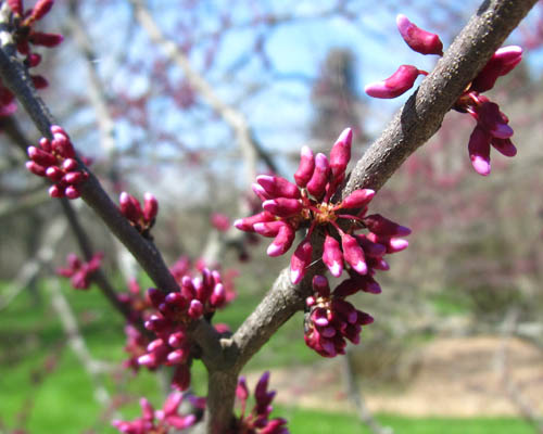 Native southern ontario trees cercis occidentalis cranmer earth design planting plant native trees of ontario canada tree for full part mightylinksfo